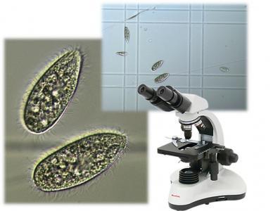 Tetrahymena pyriformis szaporodásgátlási teszt képek
